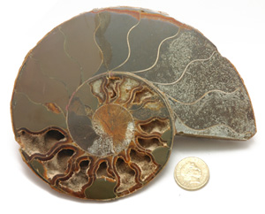 Jurassic Fossil Ammonite. Sliced in half and inside face polished